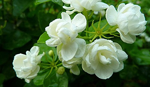 jasmine-thinatamil
