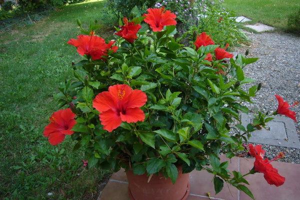 sembaruthi-plant-thinatamil