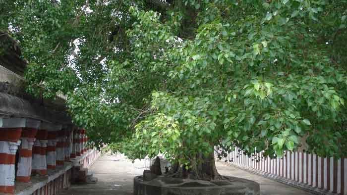arasa-maram