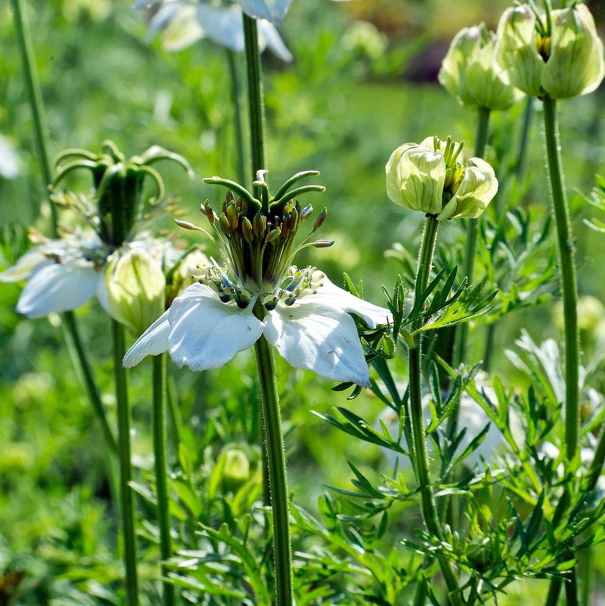 Karunjeerakam Herbal Plants